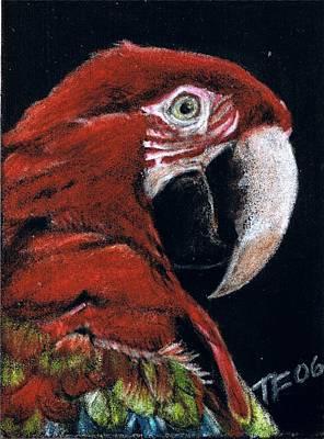 Macaw Drawing - Jake by Terri Flowers