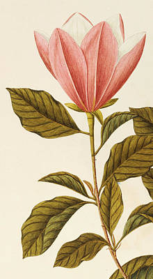 Japanese Bigleaf Magnolia Print by Angela Rossi Bottione
