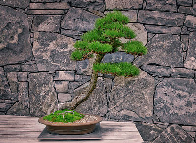 Photograph - Japanese Black Pine Bonsai by Steven Ralser
