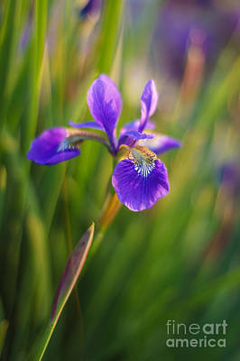 Stamen Photograph - Japanese Iris Vibrant by Mike Reid