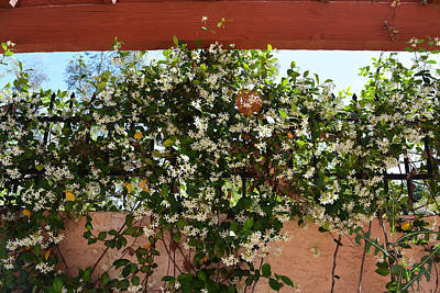 Floral Photograph - Jasmine On Fence by Aimee L Maher Photography and Art Visit ALMGallerydotcom