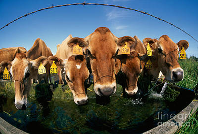 Jersey Cows At Trough Print by Inga Spence