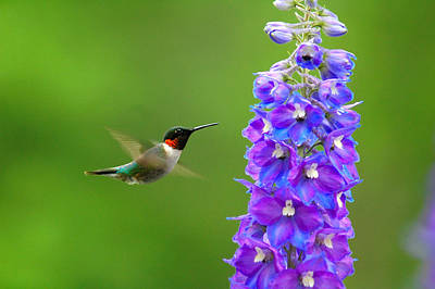 Hummingbird Photograph - Jewel Of The Air by Emily Stauring