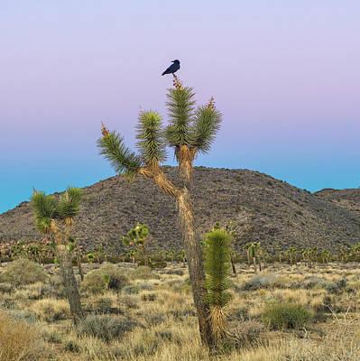 American Crow Photograph - Joshua Tree With Crow by Joseph Smith