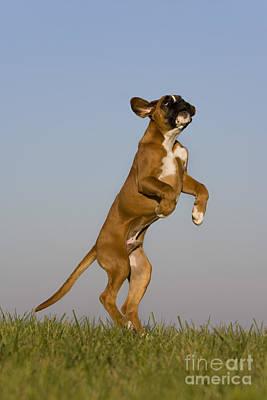 Jumping Boxer Puppy Print by Jean-Louis Klein & Marie-Luce Hubert
