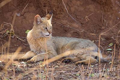 Gir Photograph - Jungle Cat, India by B. G. Thomson