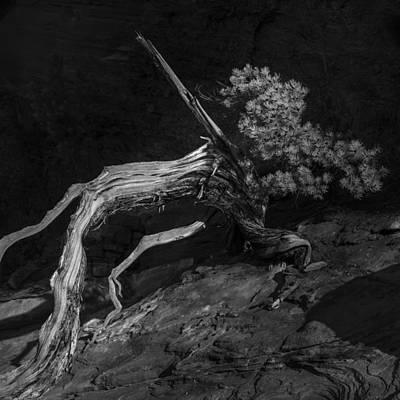 Juniper Photograph - Juniper In Recline by Joseph Smith