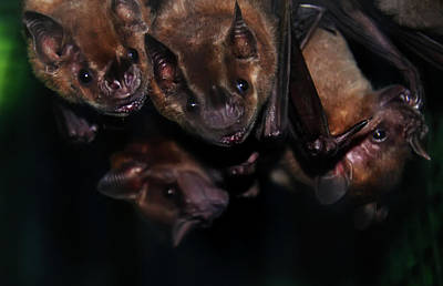 Batman Photograph - Just Hanging Around - Bats by Bill Cannon