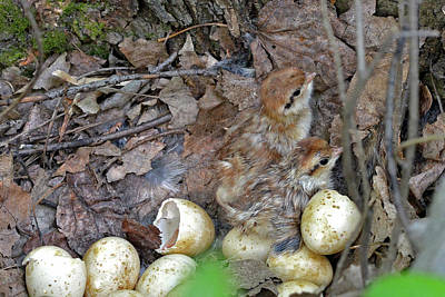 Woodcock Photograph - Just Hatched Ruffed Grouse Chicks by Asbed Iskedjian