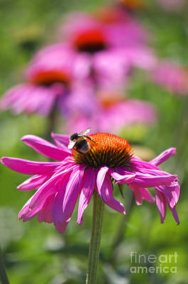Flowers Photograph - Purple Coneflowers by Angela Doelling AD DESIGN Photo and PhotoArt