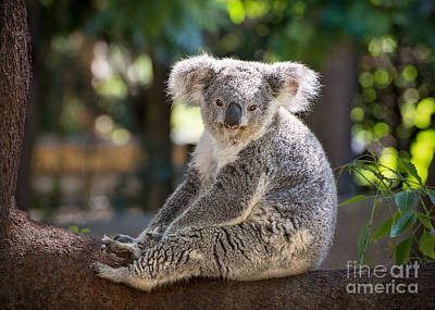 Koala Photograph - Just Relax by Jamie Pham