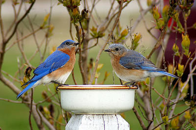 Bluebird Photograph - Just The Two Of Us by Bill Pevlor