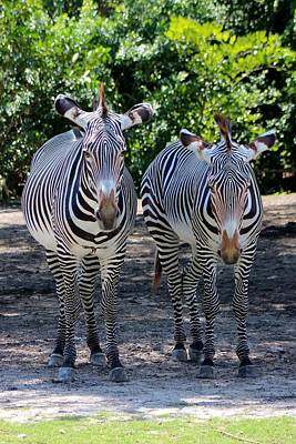 Zebra Photograph - Just The Two Of Us by Mesa Teresita