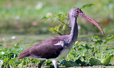 Wings Photograph - Juvenile Ibis by Deb Hayes