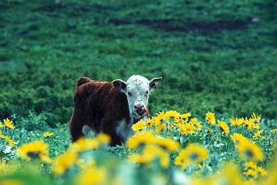 Juvenile White-faced Hereford Print by Paul Nicklen
