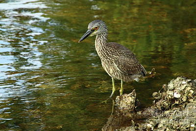 Juvenile Yellow Crowned Night Heron Print by Christiane Schulze Art And Photography
