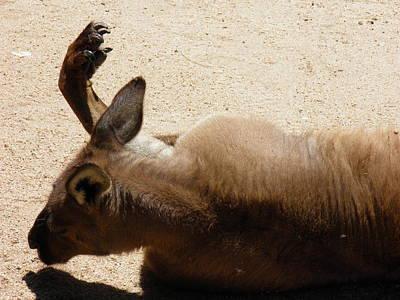 Kangaroo Photograph - Kangaroo Nap by Viktor Milenkov