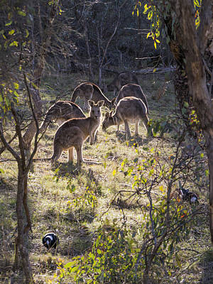 Kangaroo Photograph - Kangaroos And Magpies - Canberra - Australia by Steven Ralser