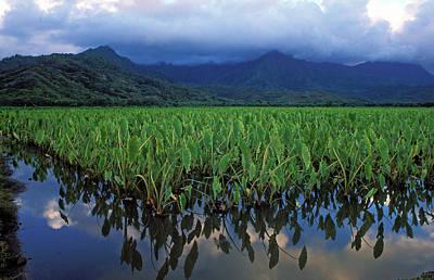 Kauai Taro Field Print by Kathy Yates