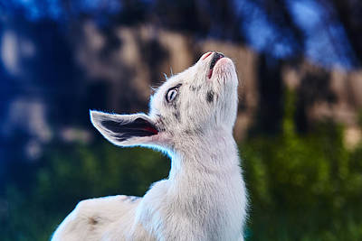 Goat Photograph - Keep Calm And Hold Your Head Up by TC Morgan