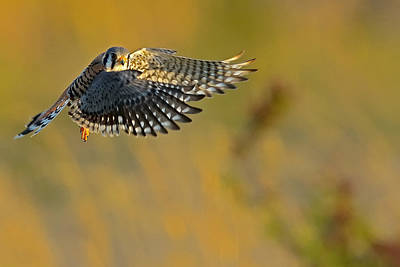 Kestrel Takes Flight Print by William Jobes