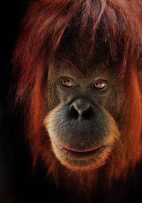 Orangutan Photograph - Kiani by Animus Photography