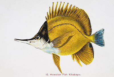 Sealife Art Painting - Kikakapu by Hawaiian Legacy Archive - Printscapes