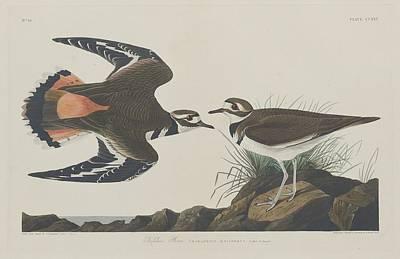 Plovers Drawing - Kildeer Plover by John James Audubon