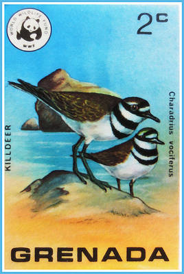 Killdeer Painting - Killdeer Bird by Lanjee Chee