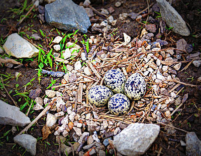 Killdeer Photograph - Killdeer Nest by Cricket Hackmann