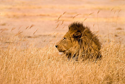 Natural Art Photograph - King Of The Pride by Adam Romanowicz