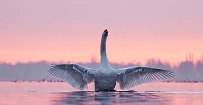 Swan Photograph - King Of The Water And The Sunset  by Roeselien Raimond