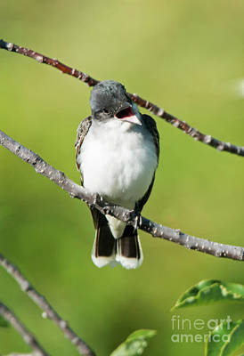Sing Photograph - Kingbird Chatter by Mike Dawson