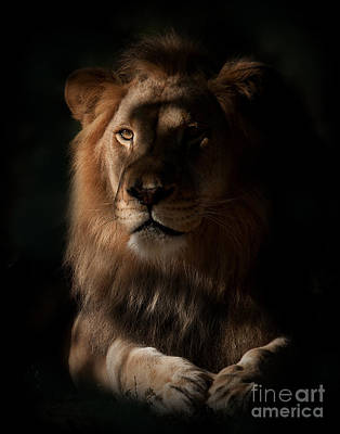 Lion Photograph - King's Eye by Adrian Tavano
