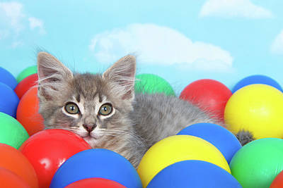 Gray Tabby Photograph - Kitten Laying In Brightly Colored Balls by Sheila Fitzgerald