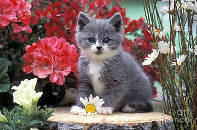 Kitten Playing With Flower Print by Rolf Kopfle