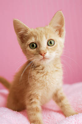 Tabby Cat Photograph - Kitten Standing On Pink Blanket by Gillham Studios
