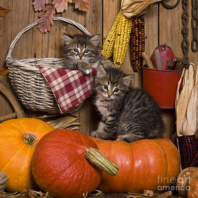 Gray Tabby Photograph - Kittens In Autumn by Jean-Louis Klein & Marie-Luce Hubert