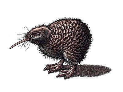 Kiwi Drawing - Kiwi by Lisa Haney