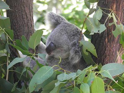 Koala Photograph - Koala In The Tree by Viktor Milenkov