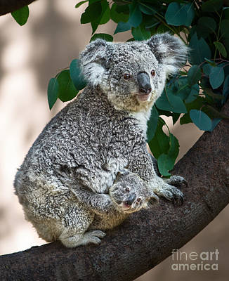 Koala Photograph - Koala Joey And Mom by Jamie Pham