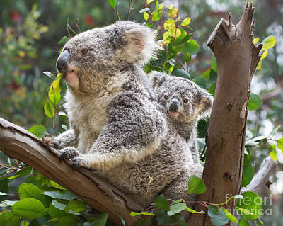 Koala Joey On Mom Print by Jamie Pham