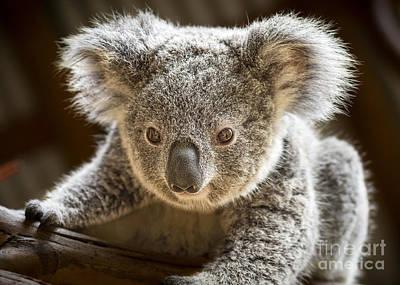 Koala Photograph - Koala Kid by Jamie Pham