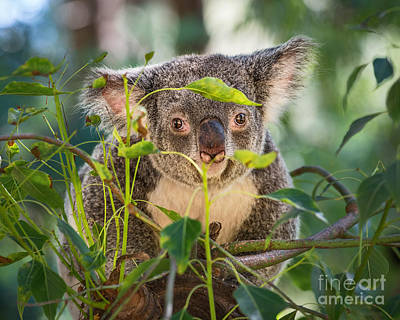 Koala Leaves Print by Jamie Pham