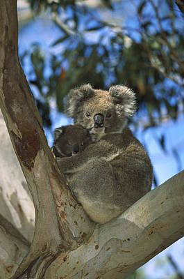 Koala Photograph - Koala Phascolarctos Cinereus Mother by Konrad Wothe