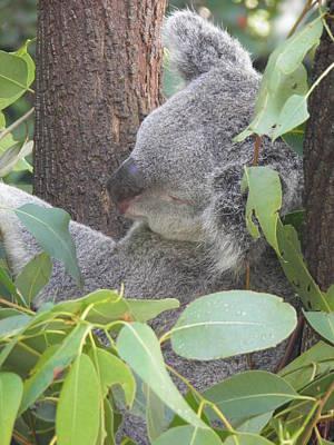 Koala Photograph - Koala - Wildlife Photography by Viktor Milenkov