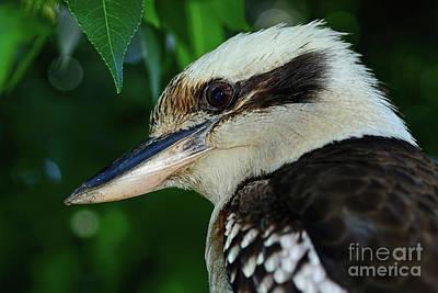 Kookaburra Portrait By Kaye Menner Print by Kaye Menner
