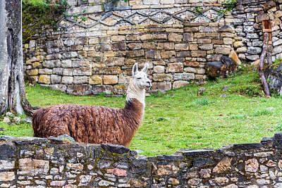 Llama Photograph - Kuelap Ruins And Llama by Jess Kraft