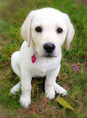 Cute Puppy Photograph - Lab Puppy by Stephen Anderson