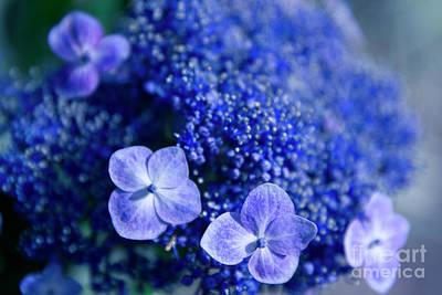 Lacecap Hydrangea Macrophylla Serrata Blue Print by Sharon Mau